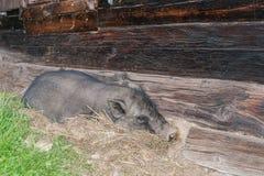 Pot-bellied χοίρος έξω από ένα παλαιό σπίτι γουρουνιών Στοκ Εικόνες