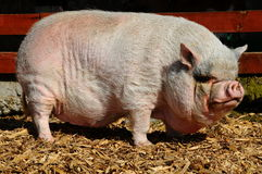 Pot-Bellied pig Royalty Free Stock Photos