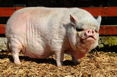 Pot-Bellied pig Royalty Free Stock Image