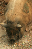 Pot Bellied Pig. A pot bellied pig Royalty Free Stock Photos