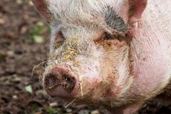 Pot-bellied pig. Portrait of a pot-bellied pig with straw around the nose Stock Photography