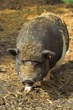 Pot-bellied pig Royalty Free Stock Images