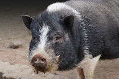 Free Pot Bellied Pig Royalty Free Stock Image - 83301906