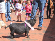 Pot Bellied Pig for Adoption Royalty Free Stock Photography