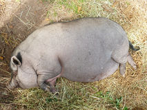 Pot-bellied pig in barnyard Royalty Free Stock Image