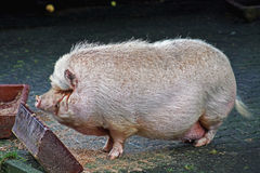 Pot bellied pig. Big pot bellied pig in a zoo Royalty Free Stock Photo