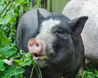 Pot bellied pig. Black vietnamese pot bellied pig Stock Image