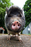 Pot-bellied pig close-up Royalty Free Stock Photo