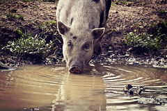 Pot-bellied pig drinking murky water Royalty Free Stock Photo