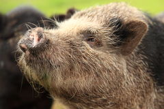 Pot-bellied pig face snout Stock Photo