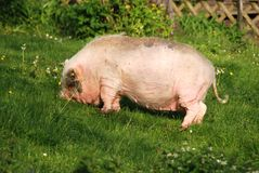 Pot-bellied pig on lawn. Pot-bellied pig on a farm in Bavaria royalty free stock photography