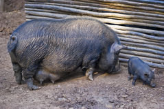 Pot-bellied Pig and Infant 02 Royalty Free Stock Image