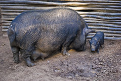 Pot-bellied Pig and Infant Stock Images