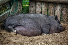 Pot Bellied Pig Royalty Free Stock Images