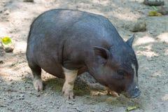 Pot-bellied pig Stock Photos
