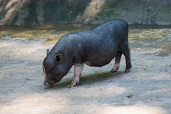 Pot-bellied pig Stock Image