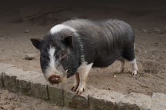 Pot bellied pig Royalty Free Stock Photo