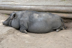 Pot bellied pig Royalty Free Stock Photos