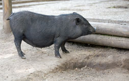 Pot bellied pig Royalty Free Stock Image