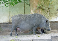 Pot bellied pig Royalty Free Stock Photography