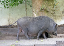 Pot bellied pig Stock Photo