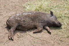 Pot bellied pig. Lying on ground royalty free stock images