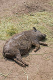 Pot bellied pig. Lying on ground stock photo