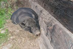 Pot-bellied pig outside of an old hog house royalty free stock photos