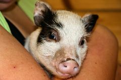 Pot Bellied Pig. A piglet pot bellied pig being held royalty free stock photography