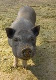 Pot-bellied pig Piglets royalty free stock images