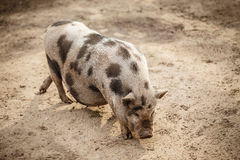 Pot-bellied pig. Pink and black speckled pot-bellied pig royalty free stock photo