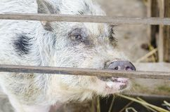 Pot bellied pig portrait. Close up of a young pot bellied pig at the farm royalty free stock images