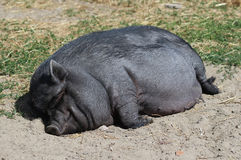 Pot-bellied pig. Sleeping on the ground royalty free stock photography