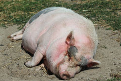 Pot-bellied pig. Sleeping on the ground royalty free stock image