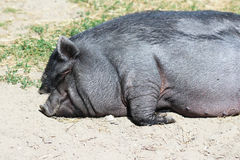 Pot-bellied pig. Sleeping on the ground royalty free stock images