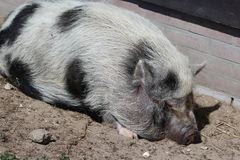 Pot-bellied pig. Sleeping on the ground stock photo