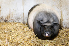 Pot-bellied pig standing or lying in hay Stock Photography