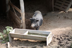 Pot bellied pig in hutch. Pot bellied pig walking towards feeding trough in hutch Royalty Free Stock Photos