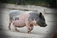 Pot-bellied piglet Royalty Free Stock Photography