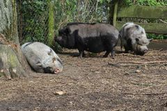 Pot bellied pigs at a farm in Eemnes, Netherlands Royalty Free Stock Images