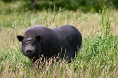 Pot-bellied Schwein stockbild