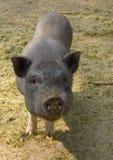 Pot-bellied Schwein Ferkel Lizenzfreie Stockbilder