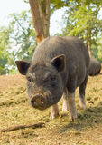 Pot-bellied Schwein Ferkel Lizenzfreies Stockfoto