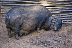 Pot-bellied Schwein und Kind stockbilder