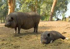 Pot-bellied Schweine - Sau und Ferkel Lizenzfreies Stockfoto