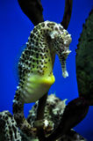 Pot Bellied Sea Horse Royalty Free Stock Images