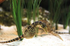 Pot-bellied seahorse royalty-vrije stock foto