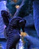 Pot-bellied seahorse Hippocampus abdominalis stock photo