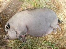 Pot-bellied varken in boerenerf royalty-vrije stock afbeelding