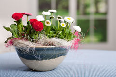 Pot of Bellis perennis. A pot with daisies alias Bellis perennis Stock Photography